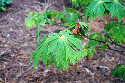Fullmoon Maple (Acer japonicum) at Nunan Florist & Greenhouses