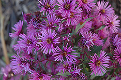 Woods Pink Aster (Aster 'Woods Pink') at Nunan Florist & Greenhouses