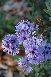 Smooth Aster (Aster laevis) at Nunan Florist & Greenhouses