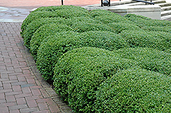 Chicagoland Green Boxwood (Buxus 'Glencoe') at Nunan Florist & Greenhouses