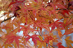 Butterfly Variegated Japanese Maple (Acer palmatum 'Butterfly') at Nunan Florist & Greenhouses