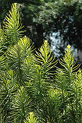 Korean Gold Plum Yew (Cephalotaxus harringtonia 'Korean Gold') at Nunan Florist & Greenhouses