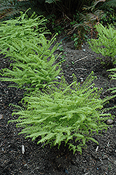 Western Maidenhair Fern (Adiantum aleuticum) at Nunan Florist & Greenhouses