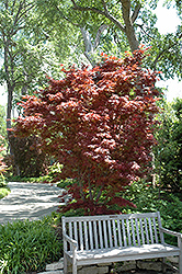 Pixie Japanese Maple (Acer palmatum 'Pixie') at Nunan Florist & Greenhouses