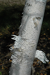 Paper Birch (Betula papyrifera) at Nunan Florist & Greenhouses