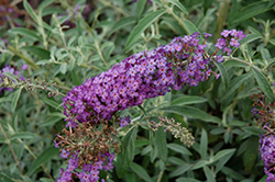 Blue Knight Butterfly Bush (Buddleia 'Blue Knight') at Nunan Florist & Greenhouses