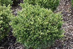 Franklin's Gem Boxwood (Buxus microphylla 'Franklin's Gem') at Nunan Florist & Greenhouses