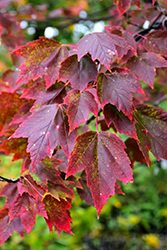 Red Sunset Red Maple (Acer rubrum 'Red Sunset') at Nunan Florist & Greenhouses