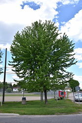 Silver Maple (Acer saccharinum) at Nunan Florist & Greenhouses