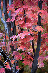 Autumn Spire Red Maple (Acer rubrum 'Autumn Spire') at Nunan Florist & Greenhouses